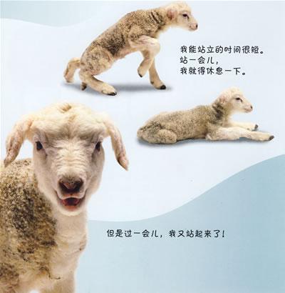 > 看小动物成长9:小羊羔 kan xiao dong wu cheng chang 9: xiao yang