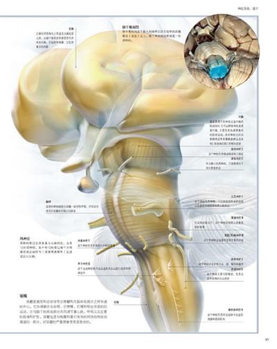 商品介绍; 小脑结构图及功能图图片下载分享;