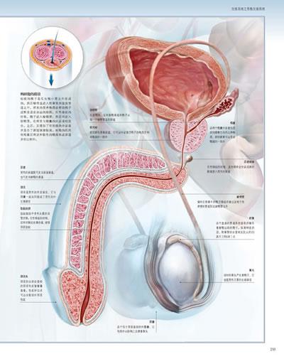 冲动和突触 大脑的解剖结构-脊髓神经元x50
